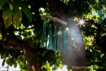 Teal Glass Wind Chimes Hanging from Grapefruit Tree