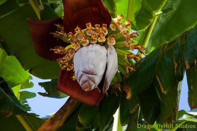 bananaflowerhigh_6992