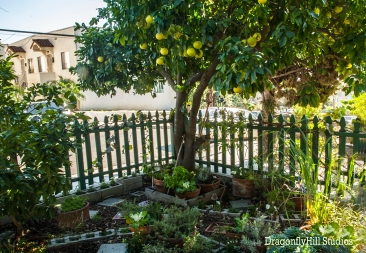 Grapefruit tree in front yard.